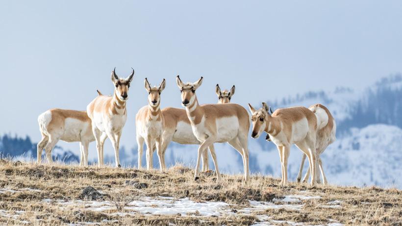 Train plows through dozens of antelope in Saskatchewan