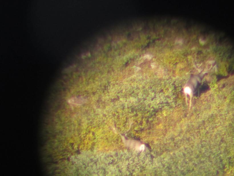 Two mule deer bucks