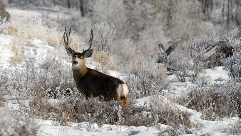 UDWR proposes fewer general season permits for 2020 deer