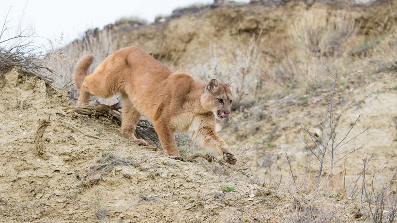 Utah Mountain Lion
