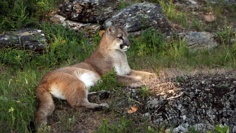 Utah bowhunter attacked by mountain lion | goHUNT