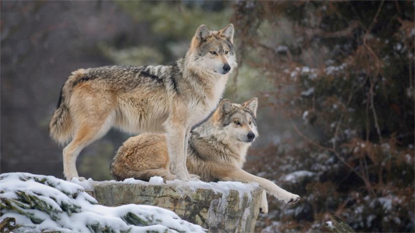 Wolves on snowy ledge