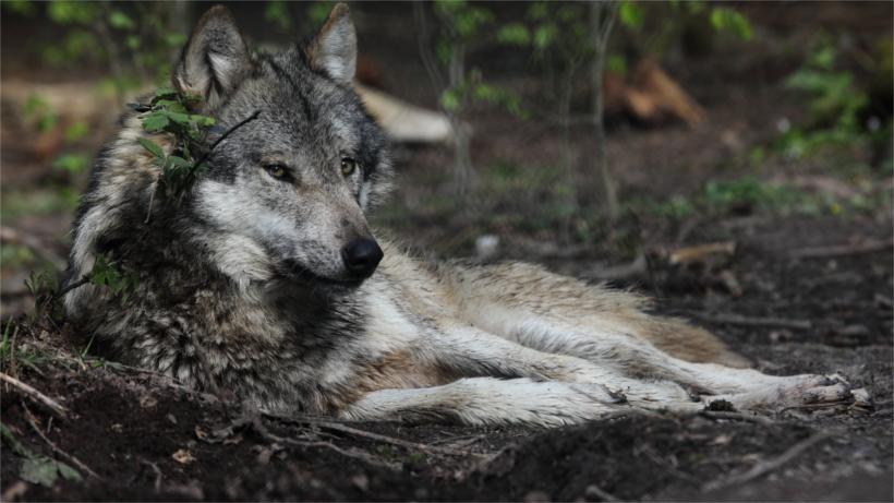 Wolf lying on back - photo#19