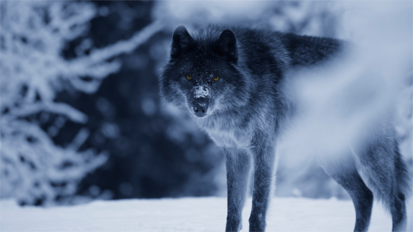 Wolf with black fur in snow