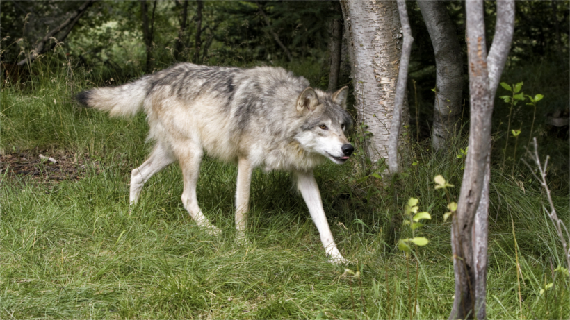 Wolf walking in field