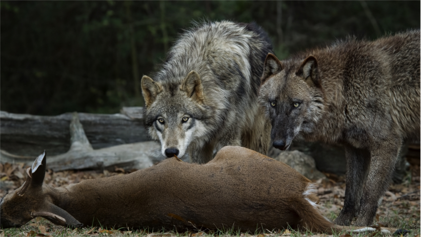 Two wolves and felled prey