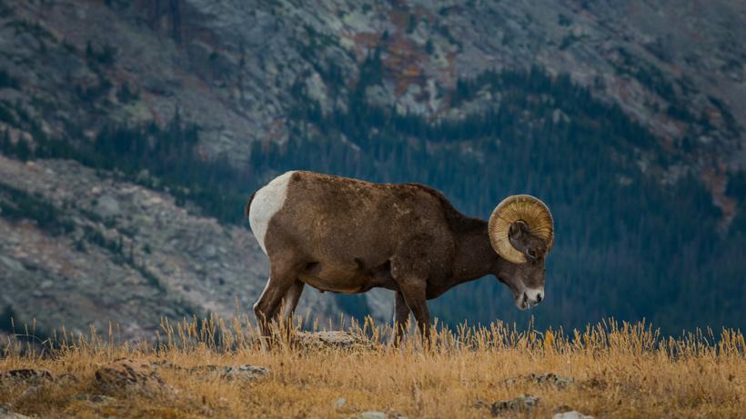 Washington Bighorn Sheep
