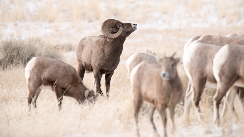 Disease confirmed in Washington bighorn sheep