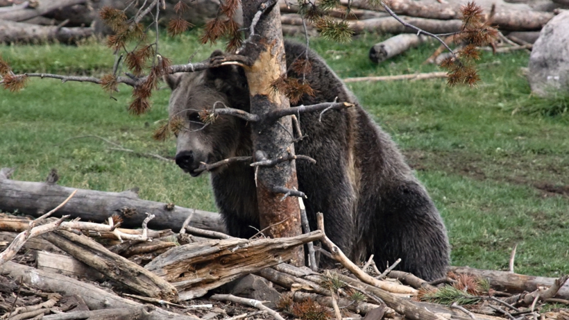 Washington State collars first female grizzly in 40 years
