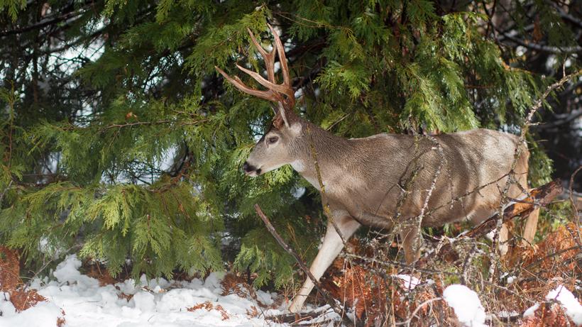 Mule deer study underway in Washington State