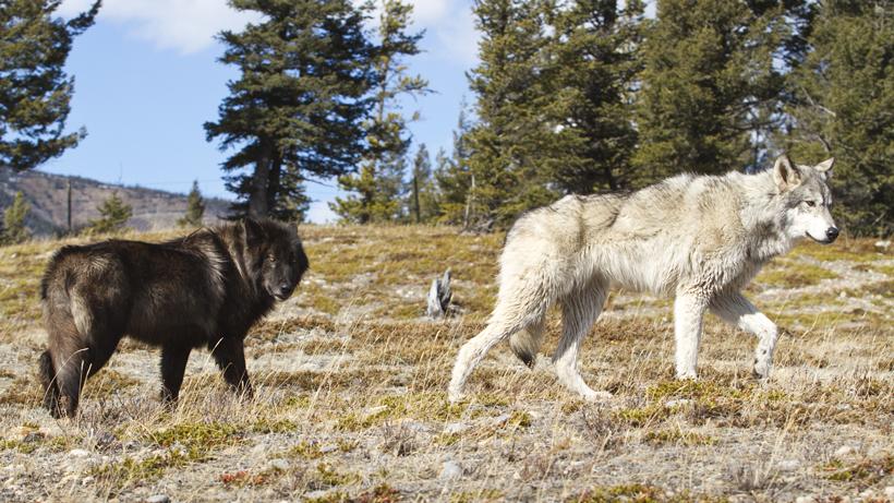 Washington Wolves