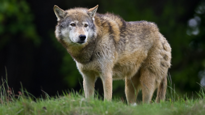 New rules for Washington wolves