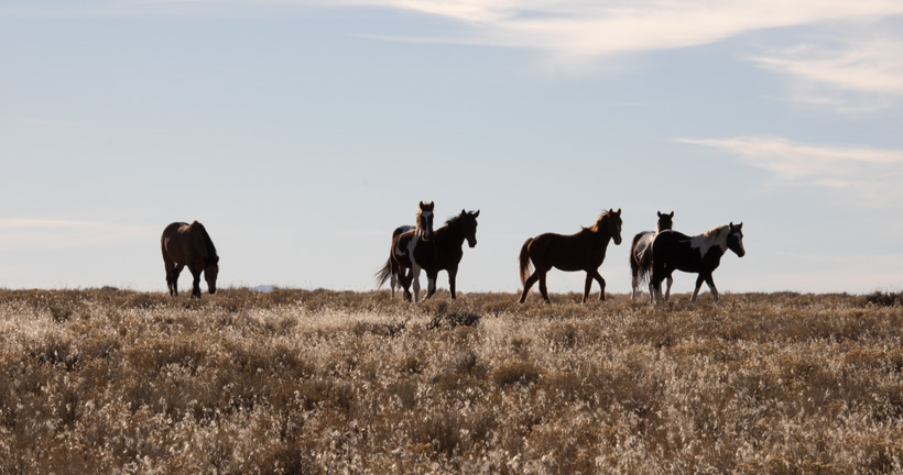 Wild horse roundup completed in Nevada