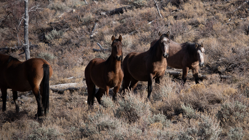SJR3: Management of wild horses and burros in the Great Basin