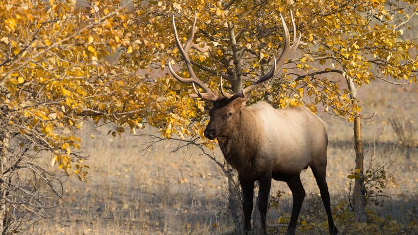 Wisconsin Elk