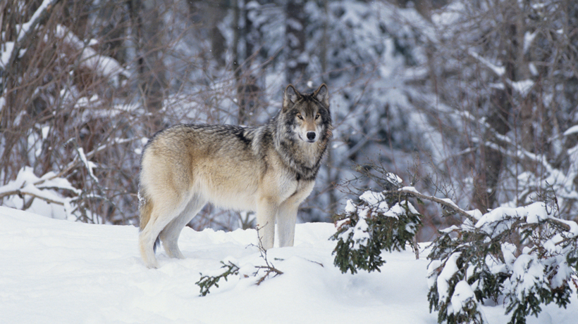 Wisconsin wolf hunt on-deck this month