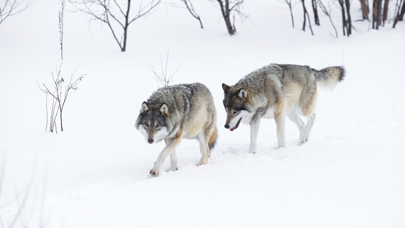 Wolf Hunting Comes To Wisconsin Gohunt