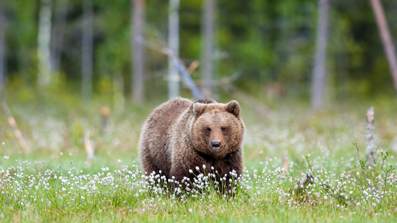 Woman approaches grizzly bear in Yellowstone National Park