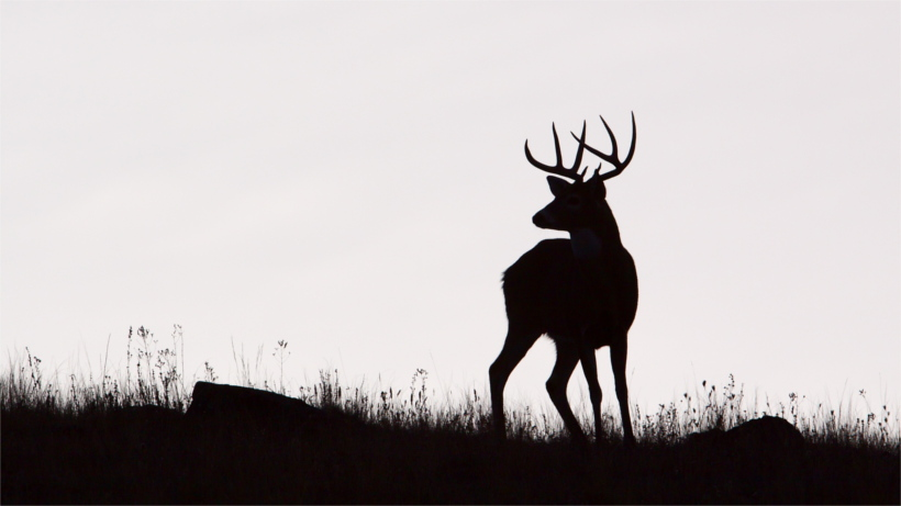 Silhouette of a whitetail