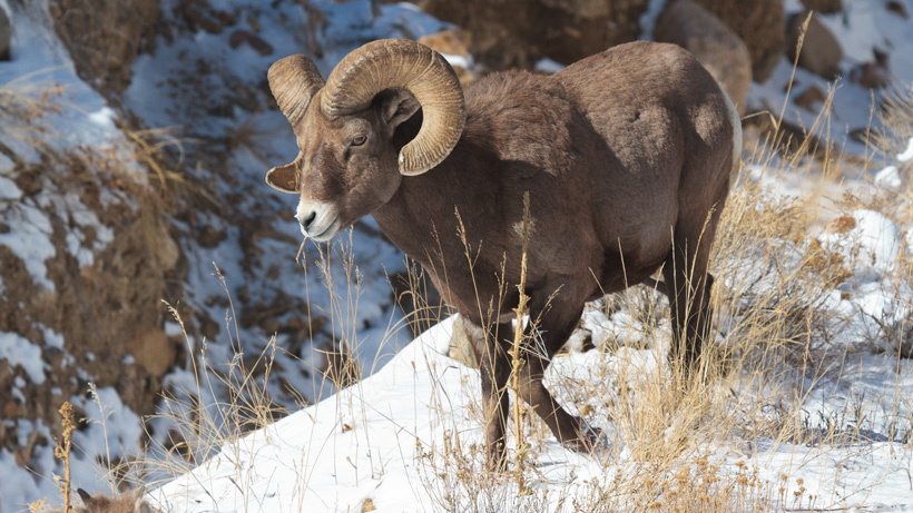 Wyoming Bighorn Sheep