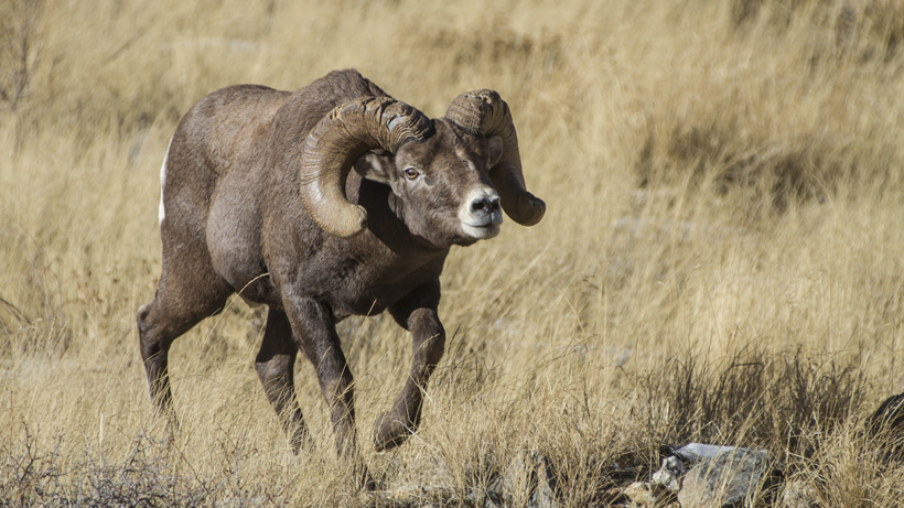 Bighorn Gohunt Whiskey Worries Wyoming Over Mountain Sheep qSAAvR