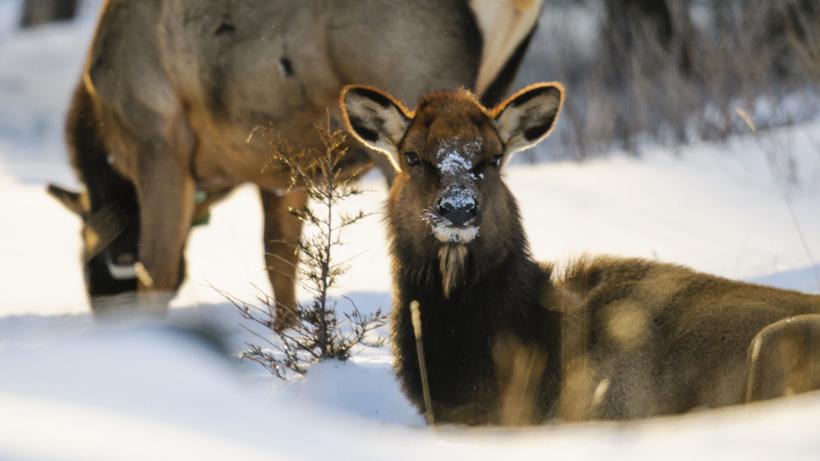 Wyoming confirms CWD in Elk Hunt Area 1