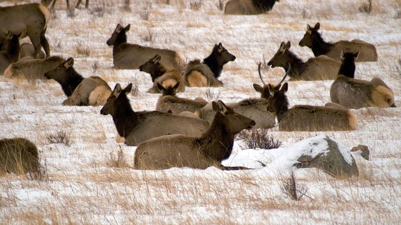 CWD confirmed at National Elk Refuge