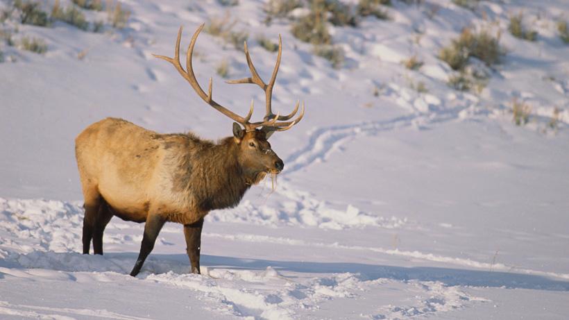 Wyoming elk
