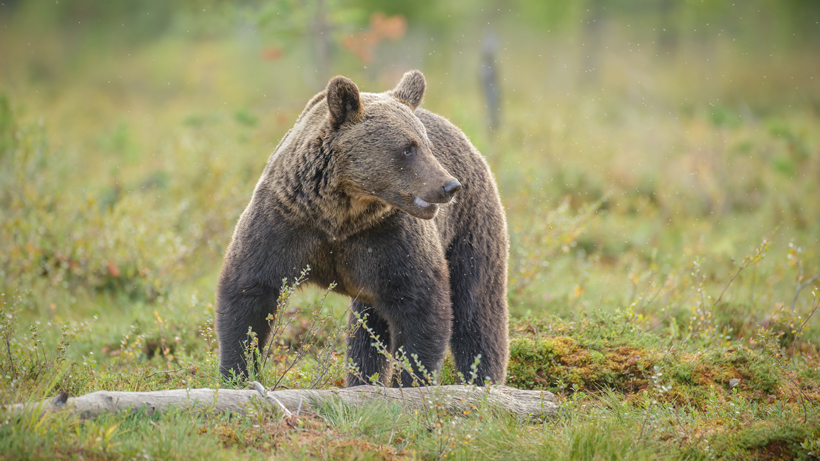 Hunter attacked by grizzly bear while elk hunting