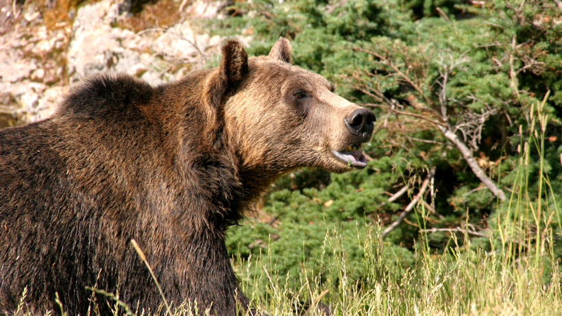 Wyoming and Idaho grizzly hunt canceled
