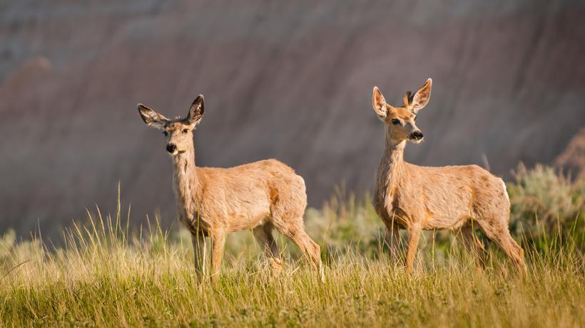 Wyoming works to decrease deer-vehicle collisions on I-25