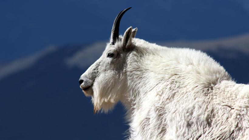 Grand Teton mountain goat cull continues