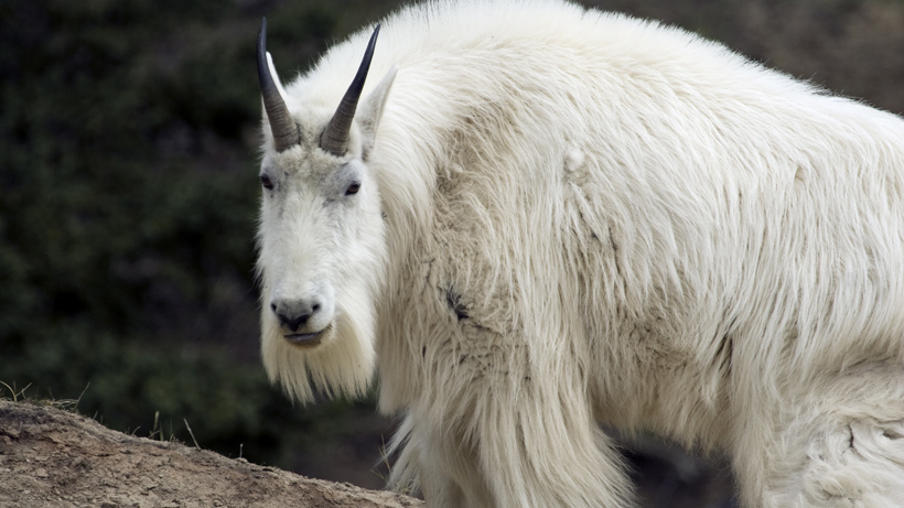Wyoming mountain goat