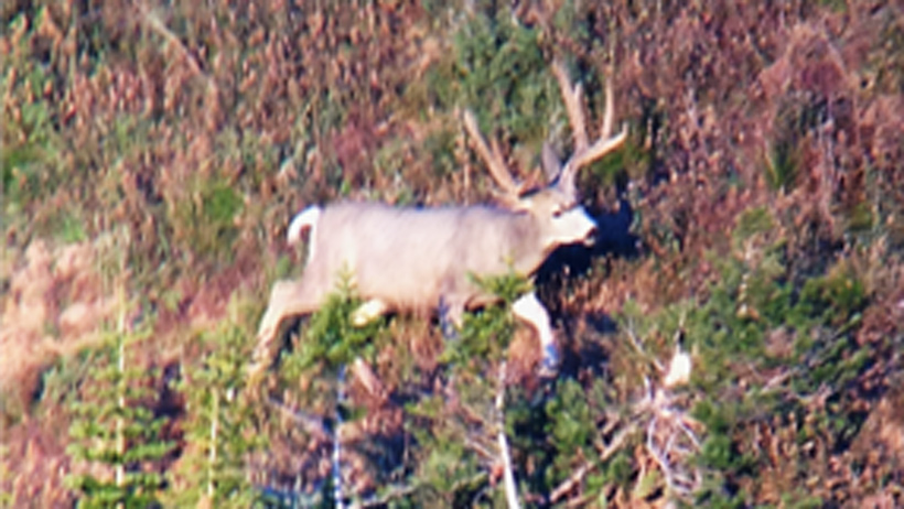 The big buck on the hillside