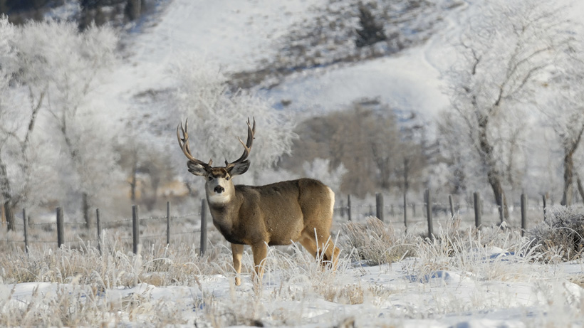 Wyoming Mule Deer