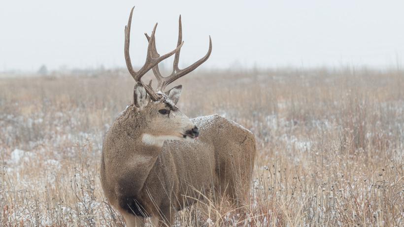 Wyoming Mule Deer
