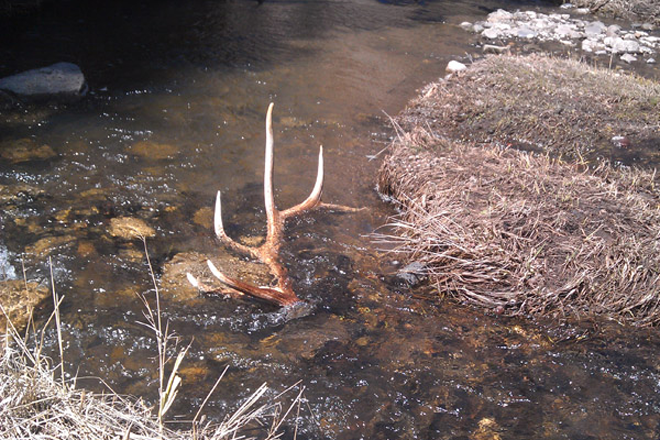 Insanely Awesome Elk Shed Antler Photos Gohunt
