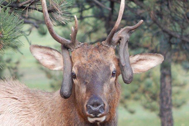 22 Of The Best Droptine Elk Of All Time Gohunt