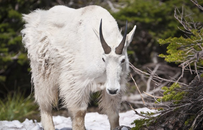 APPLICATION STRATEGY 2017: Colorado Sheep, Moose, Goat