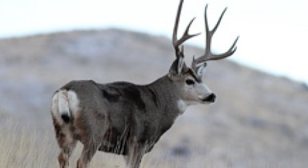 Several options remain to pick up Idaho deer/elk tags this year