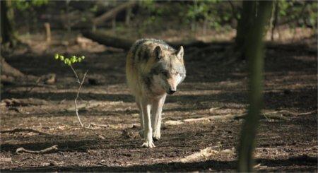 Washington wolf pack progress