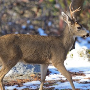 Hundreds of blacktail deer dying of disease on Vancouver Island