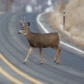 Colorado acts to lower the number of big game deaths caused by vehicles