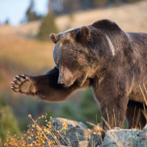 Mountain biker attacked by grizzly bear