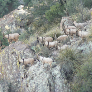 APPLICATION STRATEGY 2015: New Mexico sheep and exotics
