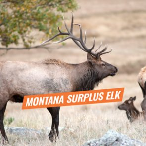 Montana nonresident surplus elk licenses available September 11