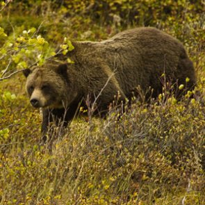 First grizzly bear hunt in 44 years blocked!
