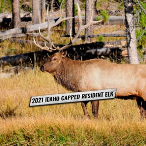 2021 Idaho capped resident elk tags go on sale July 12 — Sawtooth Zone tags on July 14