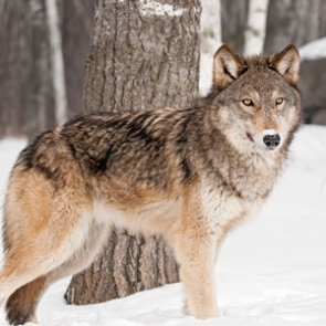 Montana State Legislature passes House Bill 224 allowing for the snaring of wolves
