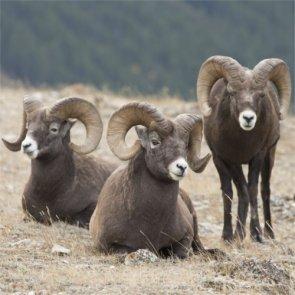 Five Canadian men guilty of poaching bighorn rams